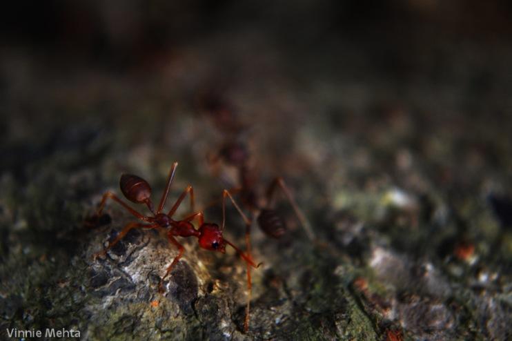 Redish_Ant